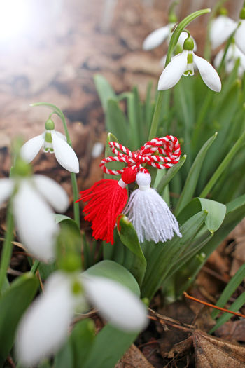 Snowdrops and