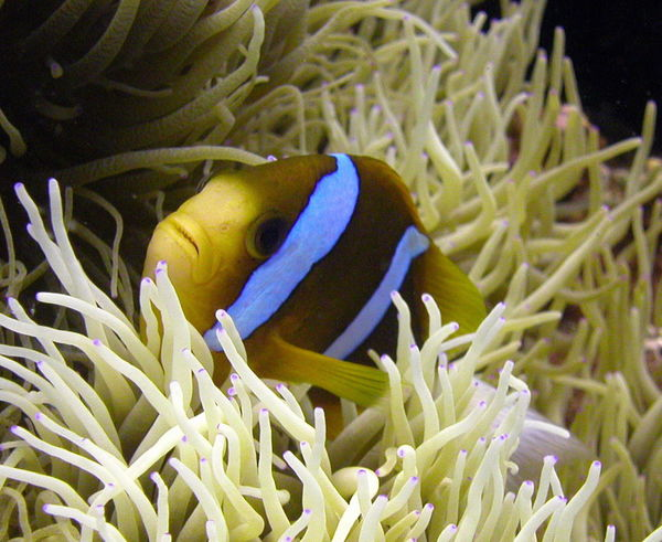 Anenome Animal Themes Animal Wildlife Animals In The Wild Australia Beauty In Nature Clarke's Anenome Fish Close-up Clown Fish Coral Day Fish Great Barrier Reef Nature No People Outdoors Sea Sea Anemone Sea Life UnderSea Underwater Water