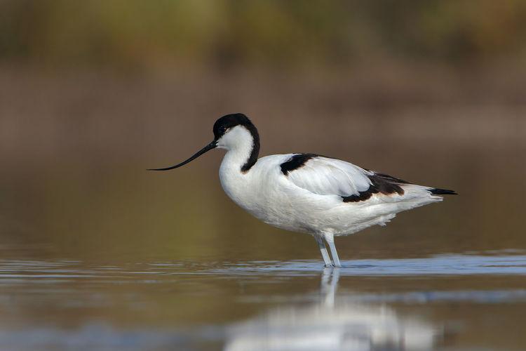 Avocetta Avocet Birds_collection Bird Birdwatching Bird Photography Birds EyeEm Best Edits EyeEm Best Shots