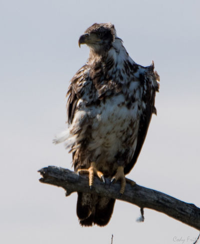 Animal Themes Animal Wildlife Animals In The Wild Bald Eagle Bird Bird Of Prey Clear Sky Day Eagle Eagle - Bird Hawk Juvenile Bald Eagle Low Angle View Nature No People One Animal Outdoors Perching Sky