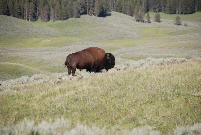 American Bison Animal Themes Beauty Beauty In Nature Bison Bison In Natural Environment Day Field Fresh On Eyeem  Grass Grazing Landscape Majestic Mammal Meadow Nature Nature No People One Animal Outdoor Photography Outdoors Powerful Single Bison Yellowstone National Park