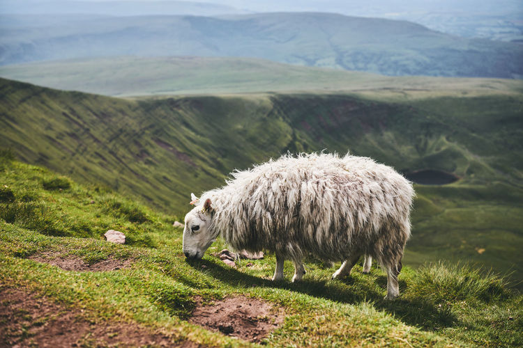 View of a sheep on landscape