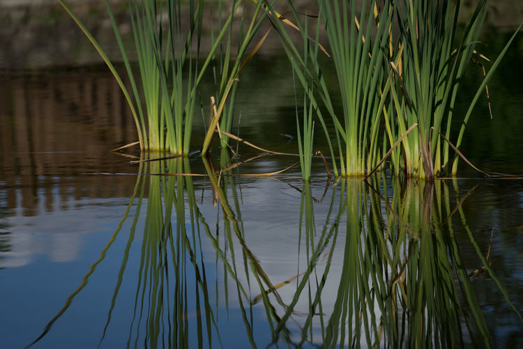 Pond Beauty In Nature Close-up Day Grass Green Color Growth Lake Nature No People Outdoors Plant Pool Reeds Reflection Scenics Tranquil Scene Tranquility Water Waterfront