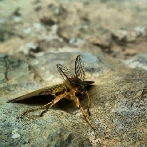 Китайский  мух Butterfly Bug Fly nature