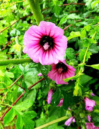 Coastalwalk Wildlife Photography Wildflowers Nature On Your Doorstep Nature Summer Memories 🌄 West Bexington Dorset Uk Wild Mallow