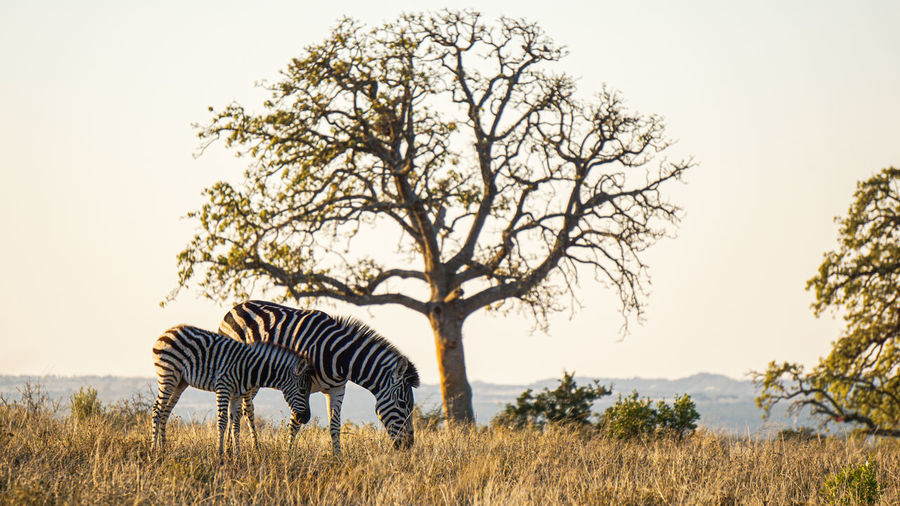 View of tree on field against sky with zebra and foal