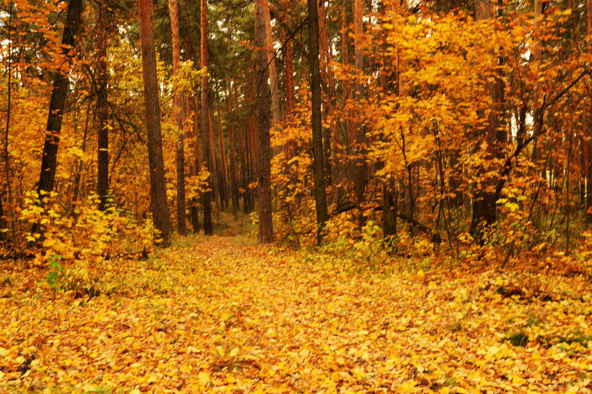 Autumn is not in focus. Morning Nikon Path Russia Autumn Autumn Collection Beauty In Nature Fall Fallen Leaves Forest Golden Autumn Landscape Nature No People Non-urban Scene Not In Focus Tree Walkway WoodLand Золотая осень Россия осень пейзаж тропинки утро