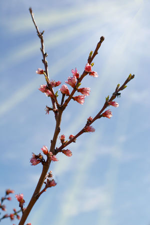 Branch of peach tree with buds Bloom Blooming Blossom Branch Bright Bud Buds Flower Peach Peach Flower Peach Tree Peach-tree Pink Spring Sprout Sunshine