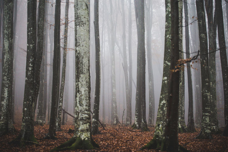 Trees In Forest In Fog