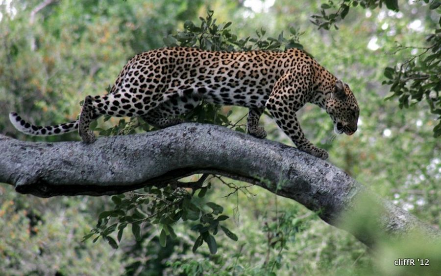 Kruger Park Wildlife & Nature Wildlife Photography African Beauty African Cats Krüger National Park  Leopard Wildlife