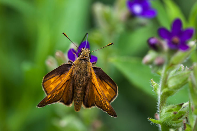 Rostfarbener Dickkopffalter Animal Themes Animals In The Wild Butterfly Dickkopffalter Insects  Lepidoptera Nature Photography Ochlodes Ochlodes Sylvanus Rostfarbener Dickkopffalter Schmetterling Wildlife Wildlife & Nature