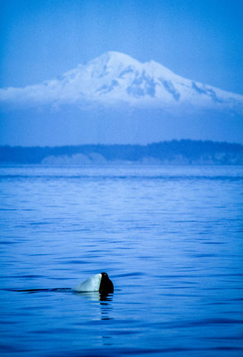 Water One Animal Animal Themes Animal Swimming Animals In The Wild Animal Wildlife Beauty In Nature Waterfront Vertebrate Sea Scenics - Nature Day No People Nature Tranquility Mammal Underwater Outdoors Marine Mountain Peak Mt Baker Washingto Film Photography Orca Vertical Composition