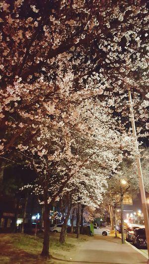 FlowerLove 🌸 벚꽃길