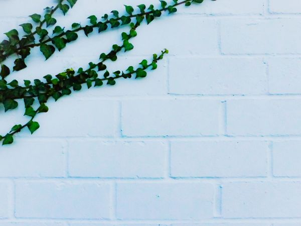 Wall White Wall Brickwall Ivy Ivy Leaf Plant Patterns In Nature Pattern, Texture, Shape And Form Close-up Lines And Patterns Geometric Abstraction Abstract Backgrounds Backgrounds Growth No People Leaf Outdoors Brick Wall Wall - Building Feature Green Color White White Background Creeper Plant EyeEmNewHere