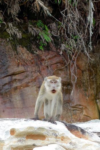 Animals In The Wild Animal Wildlife Mammal One Animal Vertebrate Day Primate Nature No People Rock Sitting Rock - Object Solid Outdoors Borneo Bako National Park Bako Makaken Makake Ape Monkey Surprised Wild Wildlife