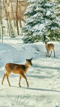 Outdoors Photograpghy  Showcase: February Winter Scene Young Deer Fury Friend Beautiful Nature Nature On Your Doorstep Enjoying Life Taking Photos Smartphonephotography