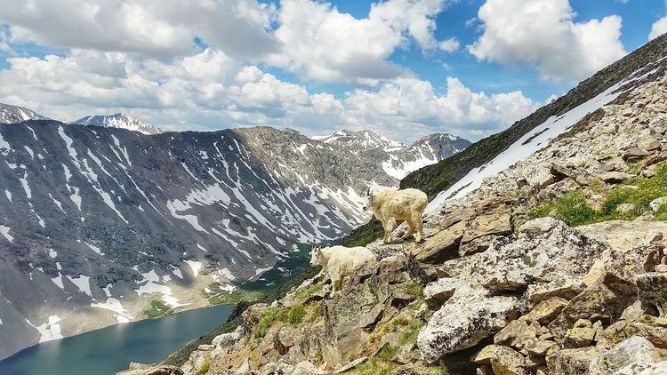 Colorado COLife Mountaingoat Hiking Quandarypeak 14er Summertime Mountains