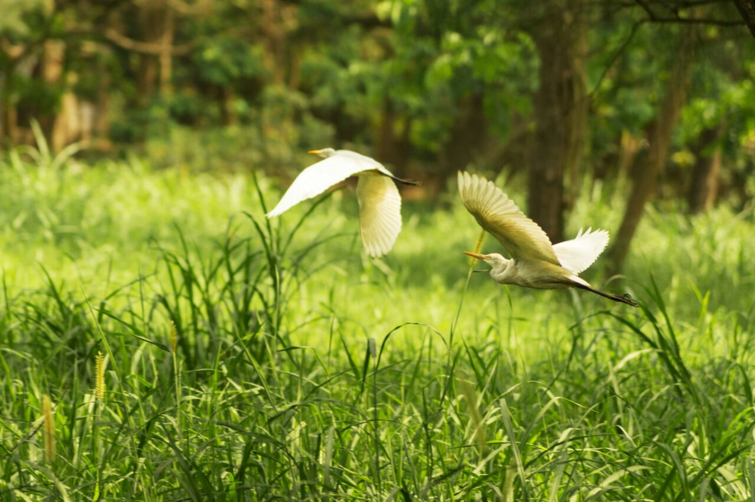 bird, animal themes, animals in the wild, wildlife, grass, flying, spread wings, nature, field, green color, focus on foreground, beauty in nature, side view, full length, growth, outdoors, grassy, one animal, day, no people