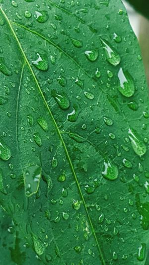 Leaf Drop Freshness Water Backgrounds Wet Green Color Close-up Full Frame RainDrop Nature No People Fragility Plant Day Indoors  Growth Mojito