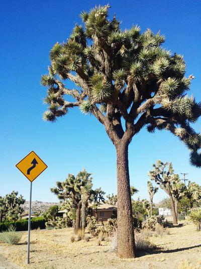 Joshuatree Desert Landscape Desert Life Healthytree Love First Eyeem Photo