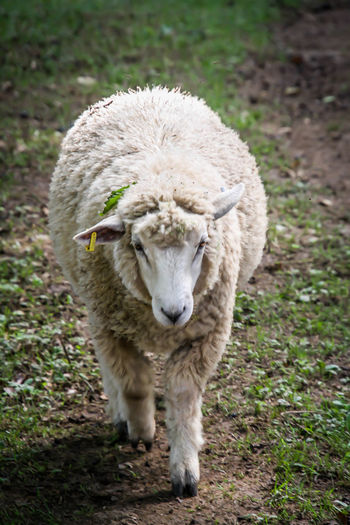 Farm Farm Life ZOO-PHOTO Zoo ZooLife Animal Animal Photography Animal Themes Animal Wildlife Animals Day Domestic Domestic Animals Field Focus On Foreground Herbivorous Land Livestock Mammal Nature No People One Animal Outdoors Pets Petting Zoo Plant Portrait Sheep Standing Vertebrate Zoo Animals  Zoo Photography  Zoophotography