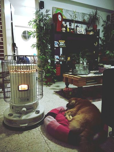 Kenjie Dog Indoors  Relaxing