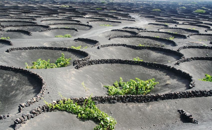 High angle view of vineyard at lanzarote