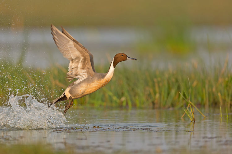 A Pintail duck