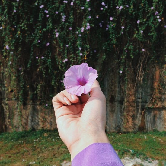 The Morning Glory. Flower Human Hand Human Body Part Nature Pink Color Fragility Flower Head Nature Outdoors Beauty In Nature Holding Focus On Foreground Day Close-up One Person Freshness Springtime Blooming People Adult
