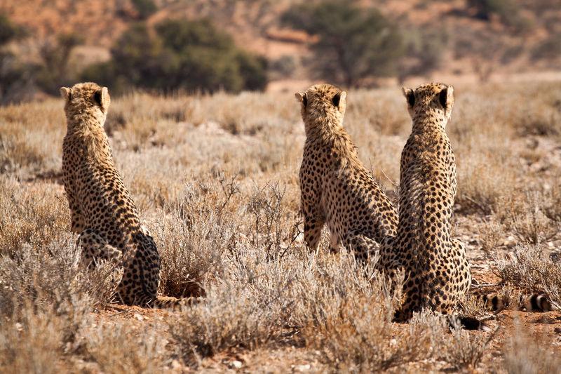 Cheetah Kgalagadi Transfrontier Park Kgalagadi Big Cats Cats Cats Of EyeEm Hunting Landscape