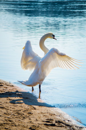 Animal Wildlife Animals In The Wild Beauty In Nature Day No People One Animal Outdoors Sea Spread Wings Swan Water