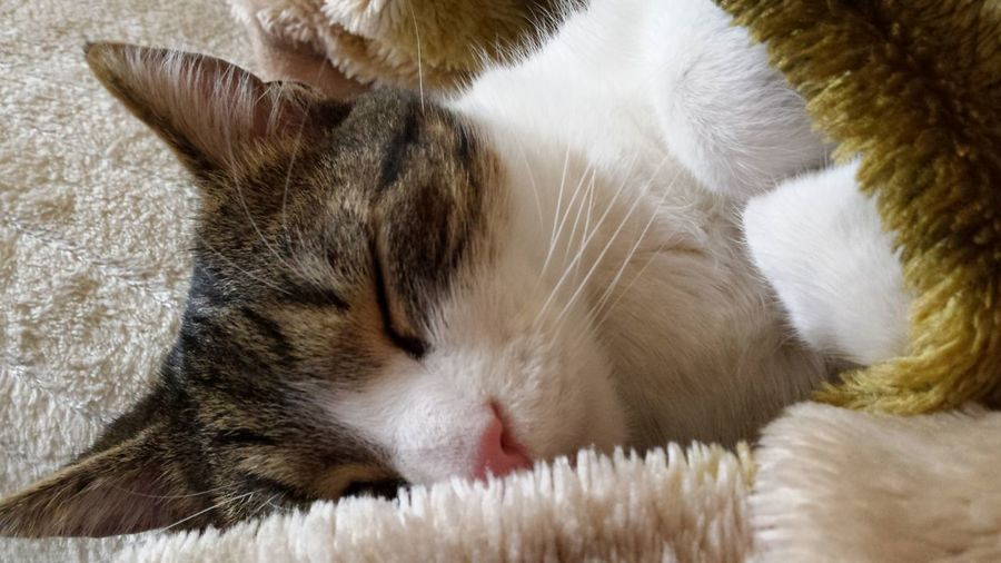 Cat Domestic Domestic Cat Pets Animal Themes Feline Animal One Animal Relaxation Eyes Closed  No People Tabby Napping Whisker Animal Head  Indoors  Domestic Animals Sleeping Resting Calm