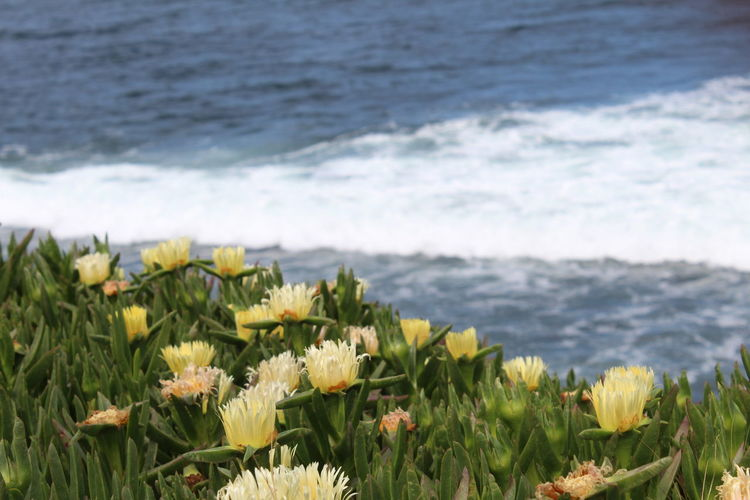 Flower Flowers Sea Beauty In Nature Water Flowering Plant No People Day Scenics - Nature Flowers And Ocean Flower Head Outdoors Green Color Freshness Plant Land Nature Wave Growth Beach Ocean View