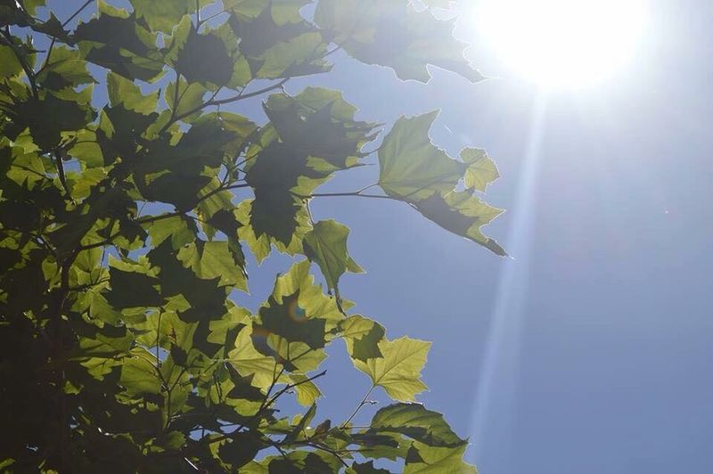 🍃☀️ Leaf Sun Sunbeam Lens Flare Tree Sunlight Branch Growth Low Angle View Nature Close-up Beauty In Nature Day Back Lit Leaves Plant Sky Scenics Shining Sunny
