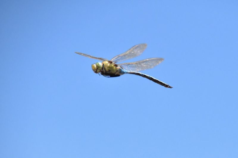 Close-up of insect flying against clear blue sky