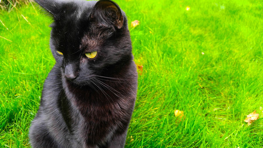 Black cat with green eyes that merge perfectly with the green grass behind. The black and green contrast eachother and so the cat is focused beautifully. Pets Grass Animal Themes Green Color One Animal Sunlight Field Outdoors Day No People Nature First Eyeem Photo
