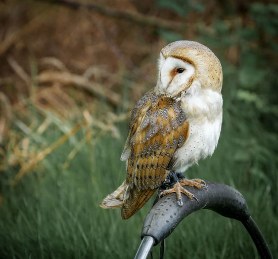 Close-up of owl perching on equipment outdoors
