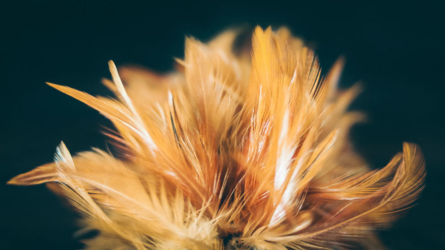 Close-Up Of Feathers Against Black Background