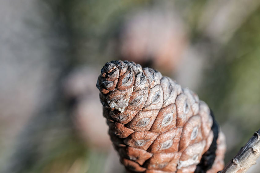 Fir Cone Macro Beauty Macro Photography Pine Tree Beauty In Nature Bokeh Close-up Day Focus On Foreground Fruit Macro Macro_collection Nature No People Outdoors Pine Cone