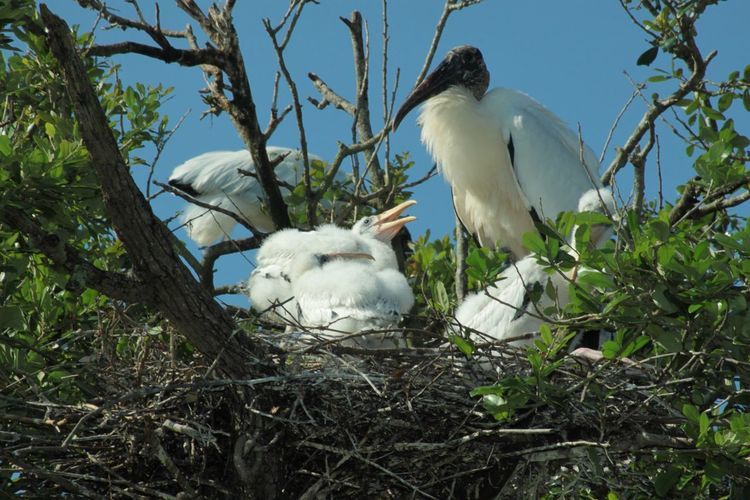 Low Angle View Of Wood Storks On Nest