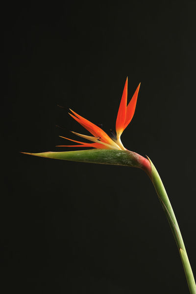 Bird Of Paradise Flower Black Background Botany Close-up Crane Flower Flower Flower Head Fragility Freshness Green Color In Bloom Leaf Multi Colored Nature No People Orange Color Petal Red Springtime StrelitziaReginae Studio Shot Tranquility Vibrant Color