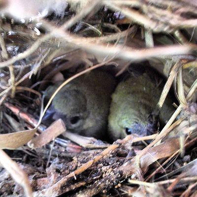 Hace poco publique una foto de estos amiguitos pero aún en su cascarón, miren ahora como ya estan de grande jeje. CreacióndeDios Naturaleza Birds