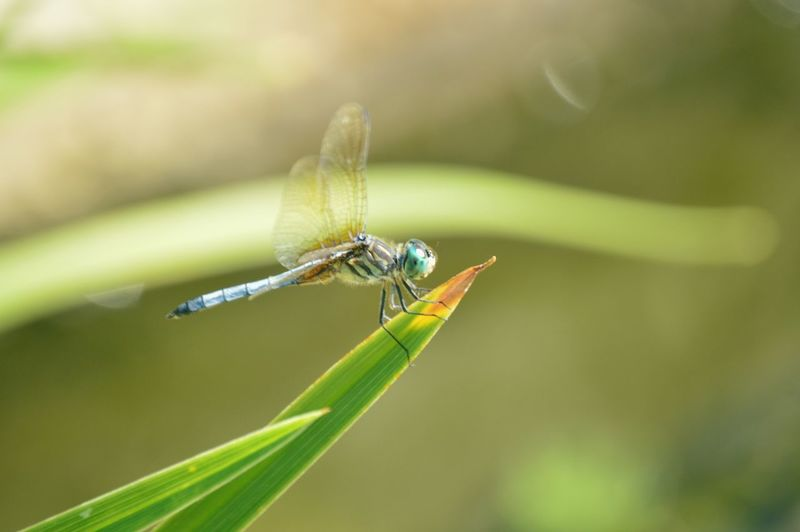 Dragonfly on a blade of grass EyeEm Selects Damselfly Leaf Insect Perching Close-up Animal Themes Green Color Grass Dragonfly