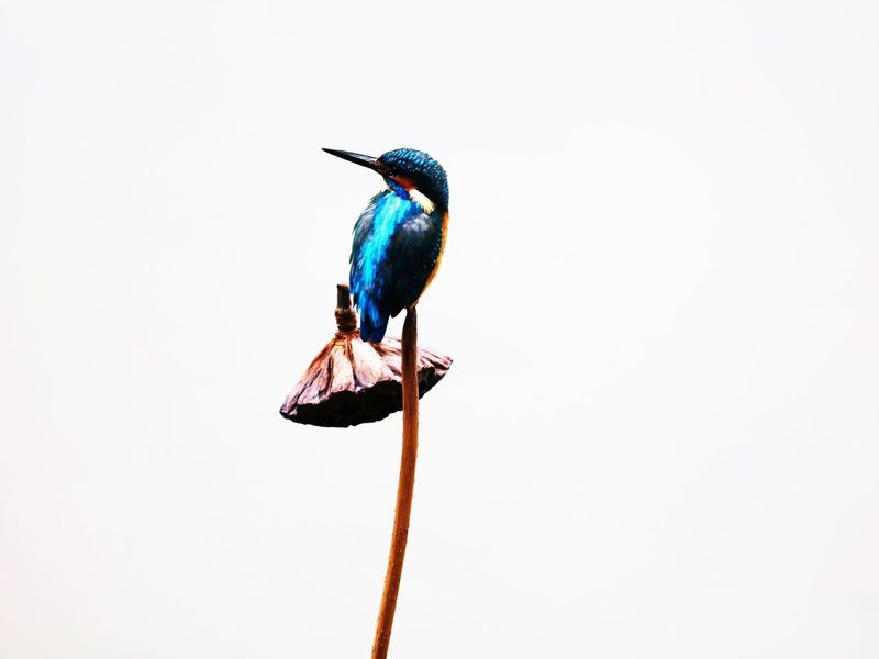 Bird Clear Sky Blue One Animal Animal Wildlife Animal Themes Animals In The Wild Kingfisher No People Beak White Background Nature Perching Outdoors Day