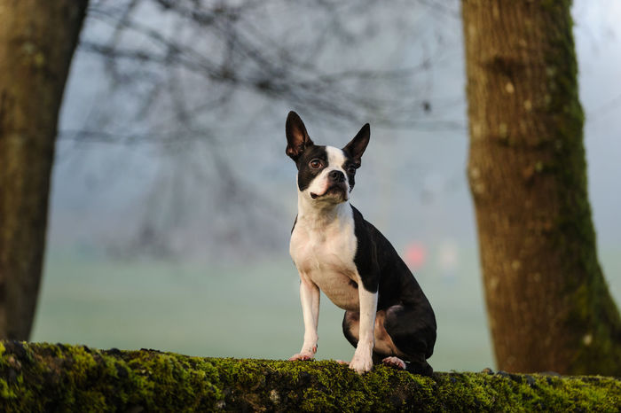 Boston Terrier Animal Themes Boston Terrier Day Dog Dogs Focus On Foreground Mammal Nature No People Outdoors Pet Pets Terrier Tree
