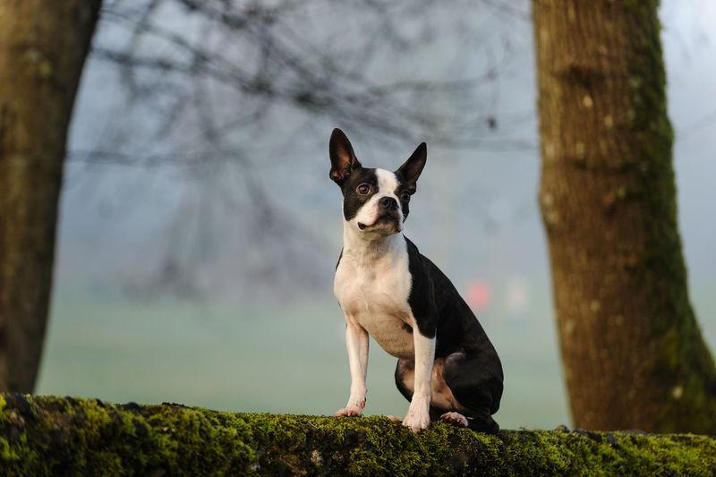 Boston terrier relaxing on field