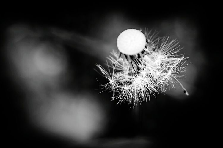 Black&white Flowers Flowers, Nature And Beauty Nature Macro Nature Macro Pusteblume Nature_collection The Great Outdoors - 2015 EyeEm Awards Flowers,Plants & Garden