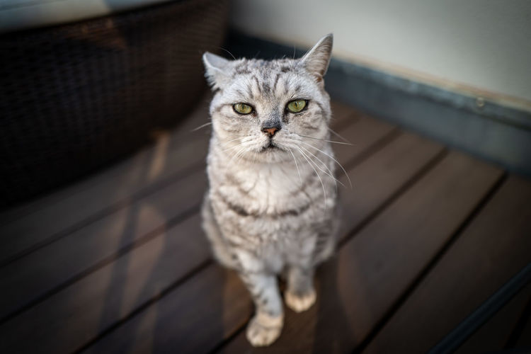 British Shorthair cat Cat Domestic Cat Pets Feline Domestic Animals Mammal Domestic One Animal Looking At Camera Portrait No People High Angle View Focus On Foreground Sitting Gray Whisker Indoors  Animal Eye Tabby British Shorthair