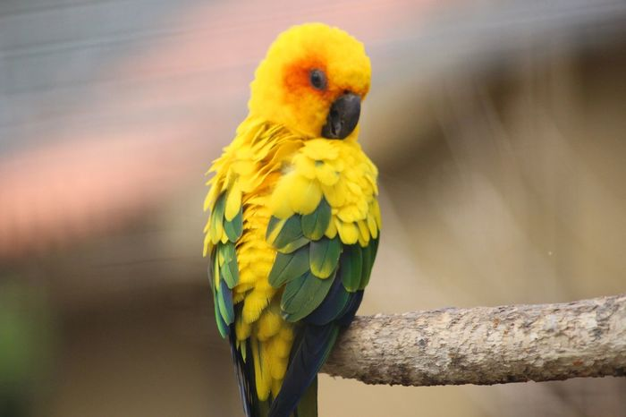 Bird Photography Exotic Creatures Green Nature Pet Portraits Animal Animal Themes Beauty In Nature Bird Birds_collection Close-up Day Exotic Pets Focus On Foreground Macaw No People One Animal Outdoors Parrot Perching Pet Pets Portrait Unusual Pets Yellow The Week On EyeEm