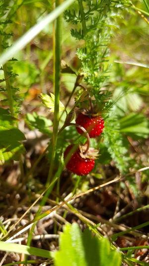 Wildstrawberry Summer North Of Sweden Smultron Umeå Yum First Eyeem Photo
